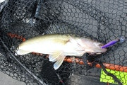 A walleye caught on Mille Lacs earlier this year.