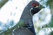 Considerably less abundant in Minnesota than ruffed grouse, spruce grouse are the subject this fall of a genetics study by the DNR in part to determin