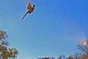A rooster pheasant jumped into the air at the Minnesota Horse and Hunt Club in Prior Lake.