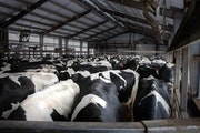 Dairy cows wait outside of the milking parlor at Daley Farms of Lewiston, Minn.