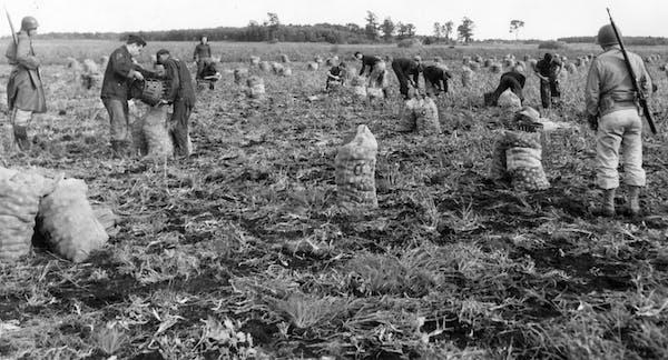Italian prisoners of war harvest onions near Princeton, Minnesota, at the O.J. Odegard farms, September 1943. Italian World War II POWs in Minnesota h