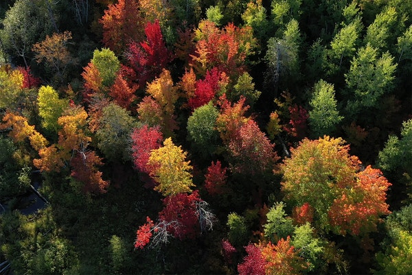 The forest near Cloquet was dappled with colors as cool nights and sunny days have created a spectacular show.