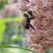 A rusty patched bumblebee on Joe Pye weed. Pictures are from Susan Damon's pollinator friendly bee garden in St. Paul in 2014.
