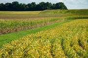 Minnesota farmers are seeing some of the best prices of the year as weather and trade have pushed commodity prices higher. File photo of soybeans and