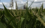 In this 2013 photo, an ethanol plant stands next to a cornfield near Nevada, Iowa. A joint report Thursday by separate U.N. scientific bodies that lo