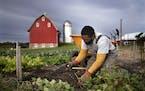 David Williams dug up sweet potatoes in the Minnesota Landscape Arboretum vegetable garden.