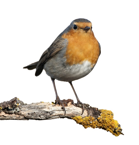Most robins migrate from Minnesota, but some ride out winter in winter in swamp areas and valleys.