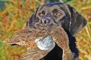 The survey overestimated last year's duck harvest in Minnesota.