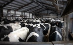 Dairy cows wait outside of the milking parlor at Daley Farms in Lewiston.