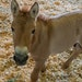 Kurt is the first clone of a Przewalski's horse, a species native to Central Asia that went extinct in the wild. Every Przewalski's horse alive is