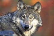 A gray wolf. The national delisting decision turns management of the wolves over to states. Gov. Tim Walz and Lt. Gov. Peggy Flanagan have said they o