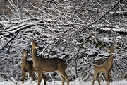 When chronic wasting disease testing was mandatory last year, the Minnesota Department of Natural Resources sampled 18,571 deer.