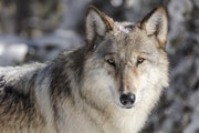 Gray wolves, one of the first animals shielded by the Endangered Species Act after Americans all but exterminated them in the lower 48 states, will no