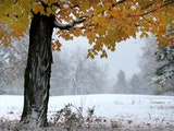 A maple tree, still ablaze in fall colors, was coated in fresh snow in Theodore Wirth Regional Park in Minneapolis on Oct. 23, 2020.