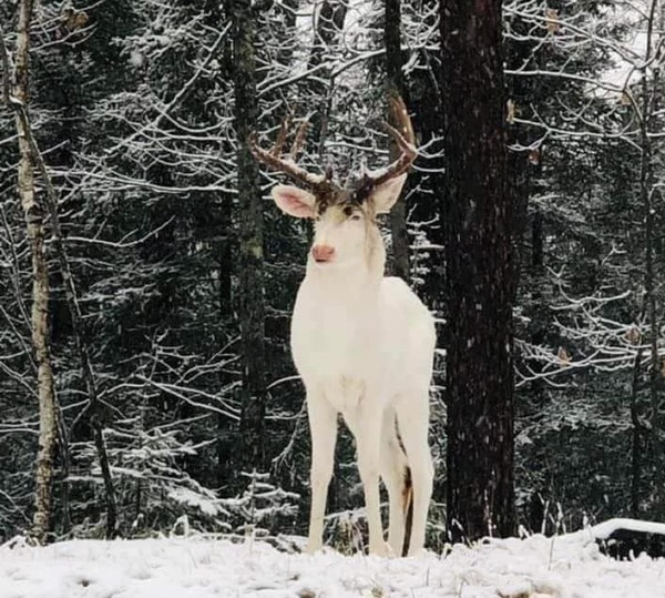 Rare albino deer spotted in northern Wisconsin