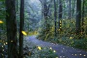 Fireflies in Great Smoky Mountains National Park. Radim Schreiber