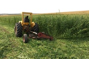 Industrial hemp is cultivated as part of a University of Minnesota project to develop a genetic test to better predict THC strength in certain varieti