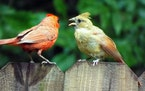 """cardinal Photos by Phyllis Terchanik —ONE-TIME USE only with Val's column. A """"teenaged"""" cardinal begs for food from its father."""