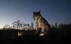 An inflatable Canada lynx was in the Arctic & Subarctic Zone section of Nature Illuminated at the Minnesota Zoo in Apple Valley, Minn., on Friday, Nov
