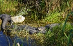 This photo shows Florida alligators in the Anhinga Trail in Everglades National Park in Homestead, Florida, on Jan. 16, 2019. Researchers from Arizona