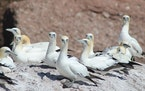 Another favorite on the author's life list the Northern gannet, which he found in Nantucket.