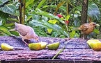Screengrab A white-winged dove, left, and a clay-colored robin eat fruit at a bird-cam feeding station in Panama.