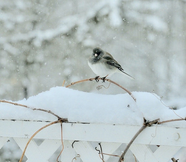 Juncos are small seed-eating sparrows, often found in flocks on the ground.