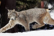 The Center for Biological Diversity sued the Minnesota DNR, reigniting a fight over animal trapping that ensnares the protected Canada lynx.