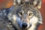 Seven of eight wolves that were moved to Isle Royale National Park from Michipicoten Island in Ontario have started forming packs, securing territory