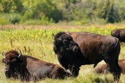Bison roamed the prairie at Minneopa State Park in Mankato. The last wild bison disappeared from Minnesota 150 years ago.
