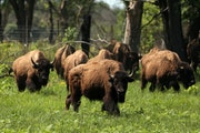 Bison once helped keep grasses in check. Their absence, along with the overuse of fertilizers, wreaks ecological havoc.