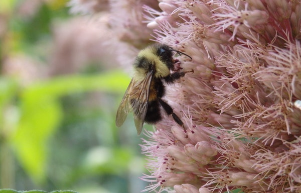 A rusty patched bumblebee on Joe Pye weed in 2014.