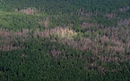 A 2007 aerial view of widespread damage in tamaracks from an outbreak of larch beetle near Big Falls in northern Minnesota. The bugs, native to Minnes