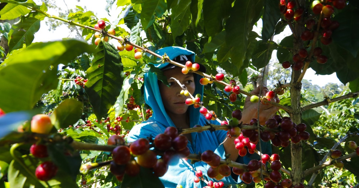 Climate change is devastating Central American coffee farms, and spurring migration