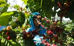 Climate change has damaged Nicaragua's coffee-growing regions, hurting farmers.