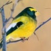 """The """"invasion'' of evening grosbeaks this winter into Minnesota is highly unusual. The colorful bird's population has been depressed in Minnes"""