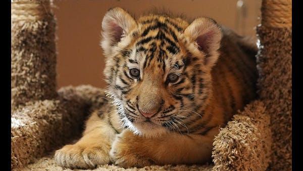 Surprise! It's a boy tiger cub