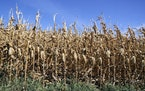 Last fall's corn harvest in the U.S. was smaller than previously estimated, the USDA said Tuesday. File photo of a Nebraska field ready for harves