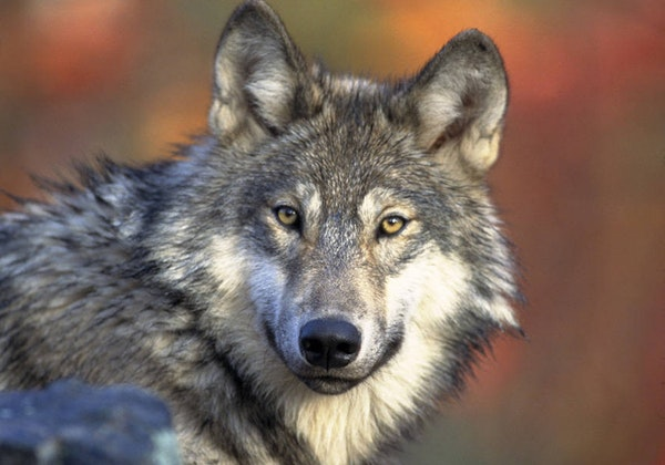This file photo provided by the U.S. Fish and Wildlife Service shows a gray wolf. (AP Photo/U.S. Fish and Wildlife Service, Gary Kramer, File)