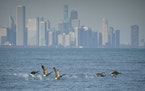 Geese fly off in front of Chicago skyline near Rainbow Beach Park in Chicago.