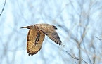 A broad-winged hawk with an item from its varied menu — a freshly caught frog.Jim Williams