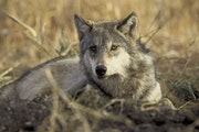 In a photo provided by the U.S. Fish and Wildlife Service, a gray wolf. Federal wildlife officials are proposing to strip endangered species protectio