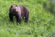 A grizzly bear roams near Beaver Lake in Yellowstone National Park in Wyoming.