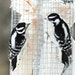 Downy woodpeckers visited a suet feeder.
