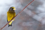 Male evening grosbeaks are distinct in their yellow.