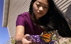 Olivia Nienaber, 18, has become an avid gardener for pollinators at her family's 10-acre homestead in Scandia. She plants flowers that draw hummingb