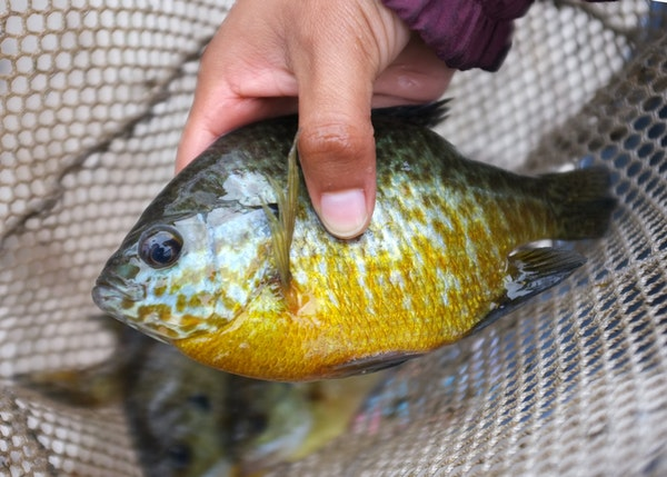 Sunfish, bluegills and crappies — collectively known as panfish — are the most sought-after finned species in Minnesota.