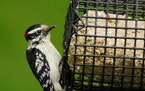 Downy woodpeckers are big fans of suet, either purchased or homemade.