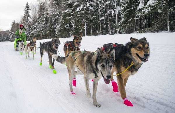 Ryan Redington's sled dog team, led by (left) Ghost and Henry ran down Old Highway 61 near Grand Portage, MN in the final leg of the John Beargrease