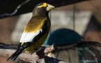 A male evening grosbeak.